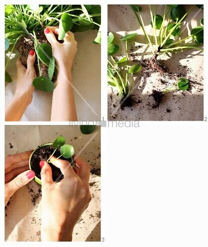 Wurzelstock von Grünpflanze teilen und den Ableger einpflanzen