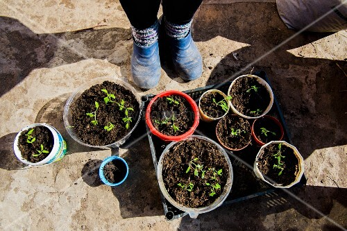 Feet in blue gardening shoes next to trays of seedlings