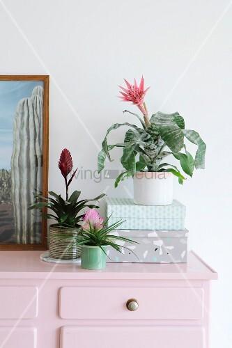 Verschiedene Bromelien auf einer rosafarbenen Kommode