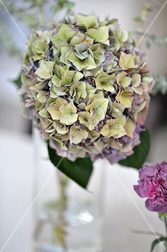 Mophead hydrangea in vase