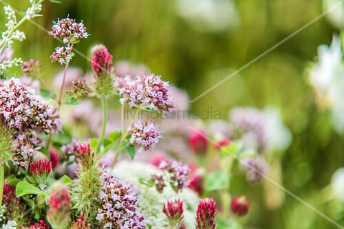 Blüten des Wilden Oregano und rote Kleeblüten in der Wiese
