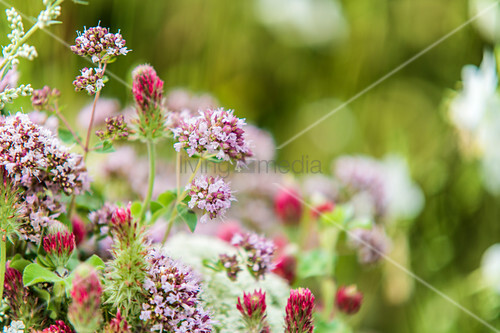 Wild marjoram and red clover flowers in meadow