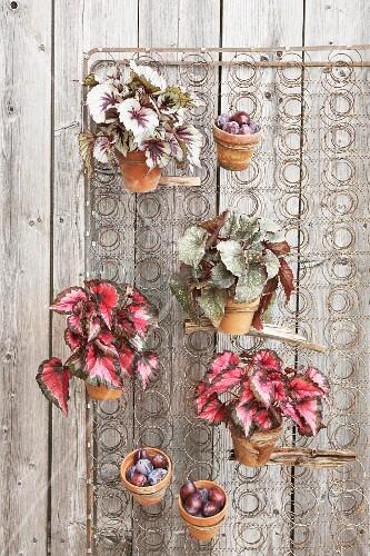 Hanging garden of Rex begonias and damsons in terracotta pots