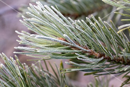Fir branches covered in hoar frost