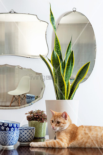Cat and potted mother-in-law's tongue on table in front of various mirrors on wall
