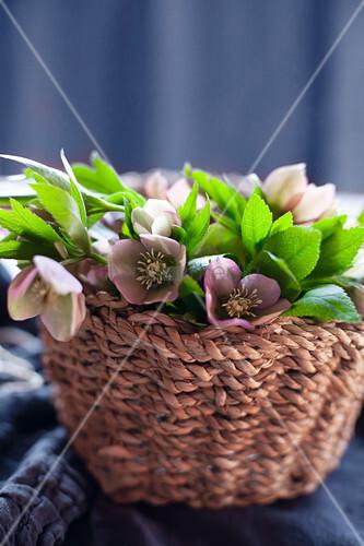 Basket of hellebores