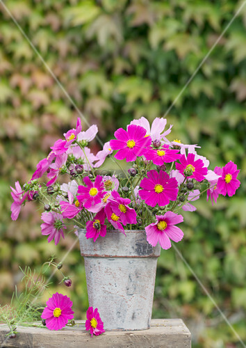 Bouquet of cosmos in sheet metal vase