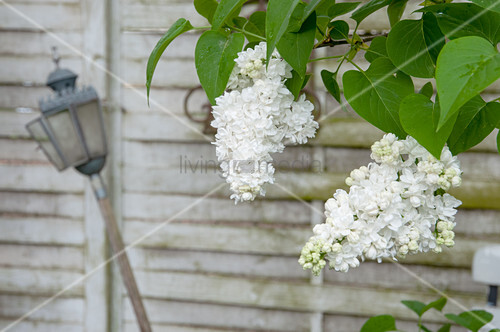 White lilac in front of old window shutters and lantern