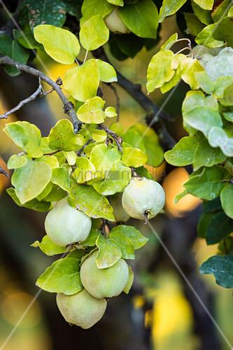 Grüne Quitten am Baum