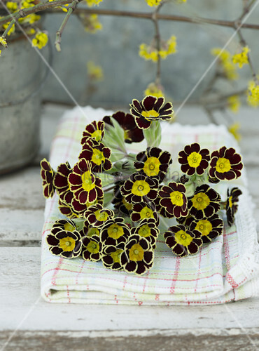 Posy of Primula 'Victoriana Gold Lace' on checked napkin