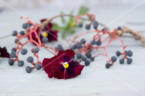 Gewundener Kranz aus Zweigen und Beeren des wilden Wein, mit Stiefmütterchen Blüten