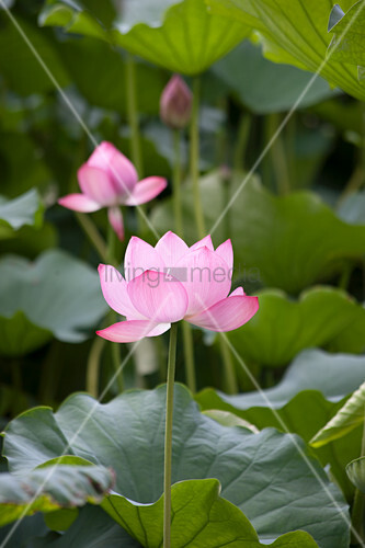 Lotus with pink flowers