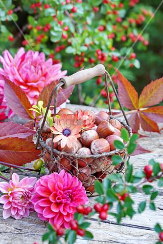 Korb mit Haselnüssen und Kapmargeriten umgeben von  Dahlien auf Holztisch