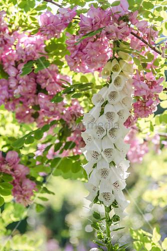 Borstenakazie 'Macrophylla' und weißer Fingerhut