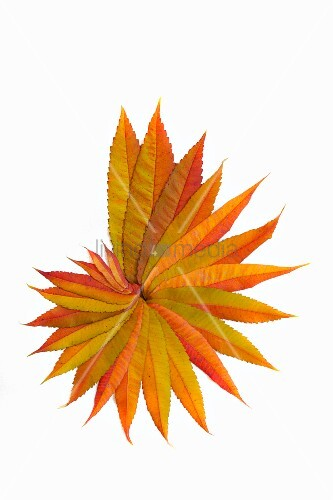 Yellow autumn sumac leaves arranged in spiral on white surface