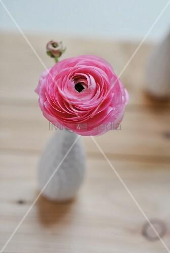 Pink ranunculus in vase