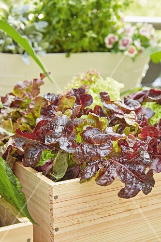 Leaf lettuce in a wooden box on a balcony