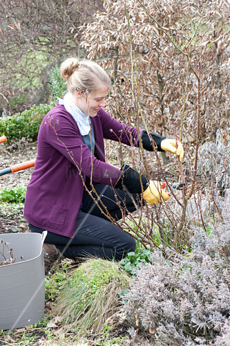 Woman cutting off Rose (rose) before budding in spring