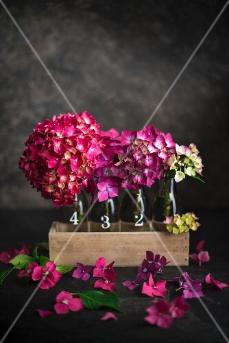 Pink hydrangea flowers in glass bottles