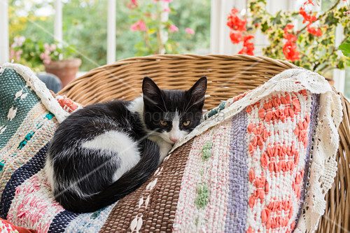 Cat on colourful cushion on rattan armchair in conservatory