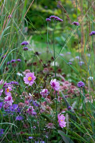 Japanese anemones and verbena in garden
