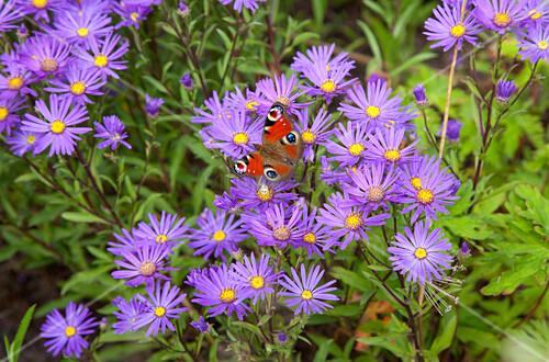 Butterfly on Michaelmas daisies in garden