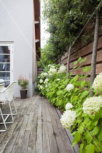Weiß blühende Hortensien zwischen Terrasse und Holzzaun