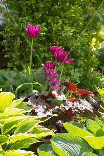 Tulips amongst perennials in flowerbed