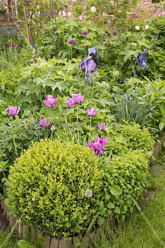 Frühlingsbeet mit Buchs, Tulpen und Stauden