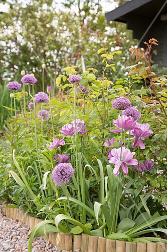 Beet mit Zierlauch 'Mercurius' und violett blühenden Tulpen