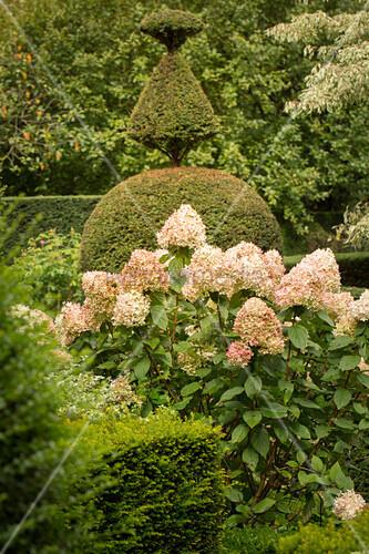 Verblühende Strauchhortensien in Formschnittgarten (Les Jardin de Castillon, Frankreich)