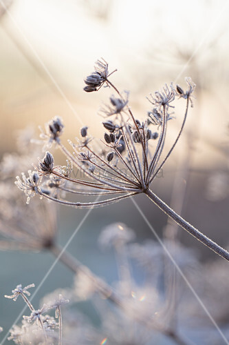 Fennel umbels in wintry landscape