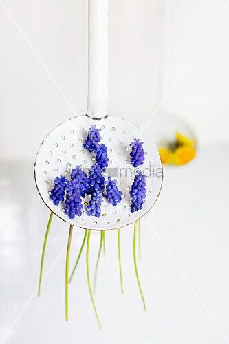 Grape hyacinths stuck through holes of vintage, perforated enamel spoon with dandelion in background