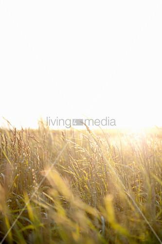 Gleisendes Sonnenlicht durch die Gräser einer wilden Wiese