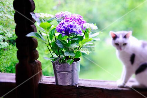 Hortensien im Blumentopf und Katze auf Holzgeländer