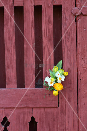 Posy of tulips, ranunculus and cream narcissus on gate
