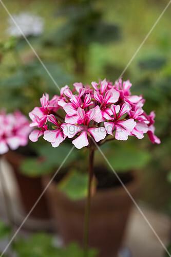 Striped pink pelargonium flower against blurred background