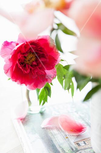 Blüte der Strauch-Pfingstrose