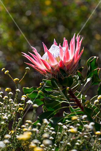 Protea flower in garden