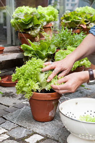 Hands picking leaves from various types of lettuce in terracotta pots