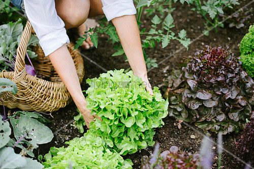 Woman picking lettuce in garden