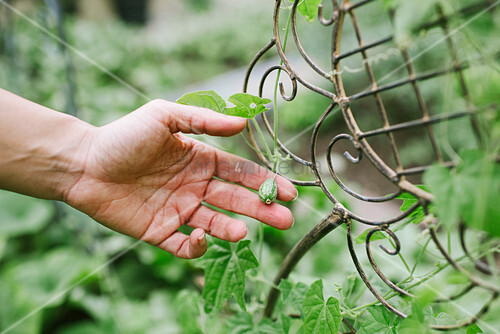 Runde Zucchini im Garten