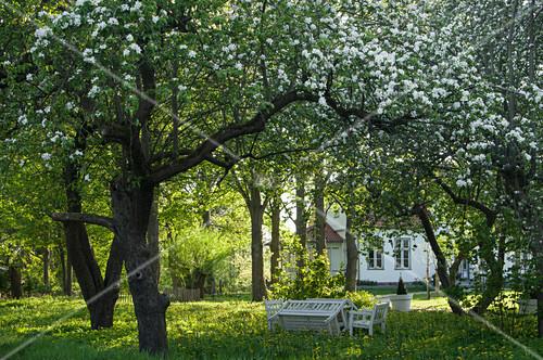 Blühende Obstbäume im Garten, im Hintergrund weißes Landhaus