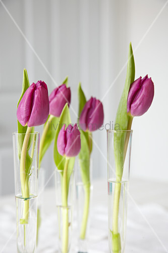 Single tulips in glass tubes