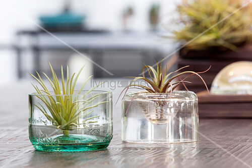 Air plants growing in cut-off wine bottle bottoms