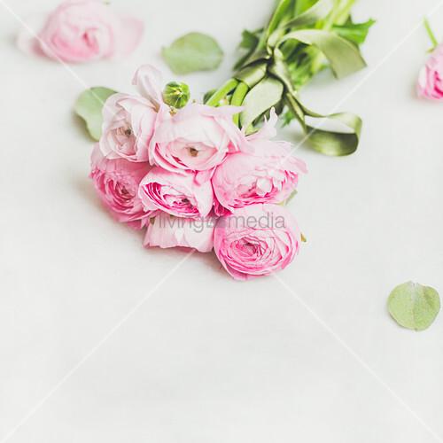 Ein Strauß rosa Ranunkel auf weißem Untergrund