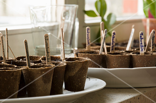 Sow In Peat Pots, Labeled With Wooden Plugs