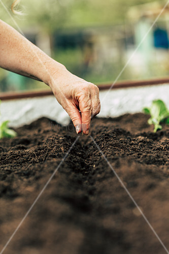 Sowing carrots in raised bed