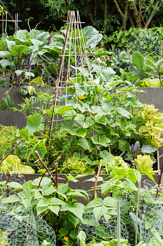 Vegetable Garden With Cucumbers And Beans