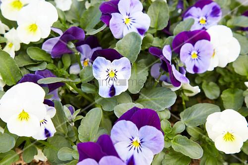 Flowering Horned Violets